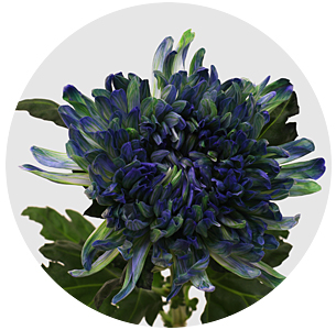 Хризантема одноголовая Антонов Полар Лайт (Antonov Polar Light)