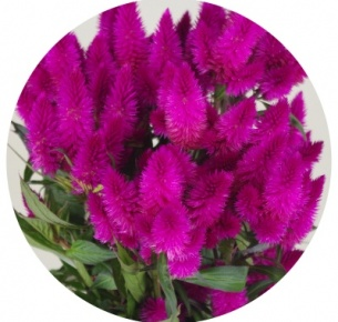 Целозия колосковая тёмно-лиловая Каракас (Celosia Deep Purple Caracas)