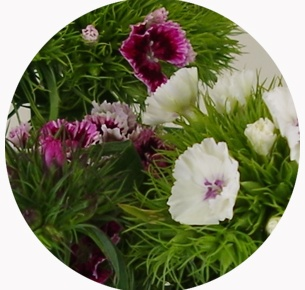Диантус барбатус микс (Dianthus barbatus mix)