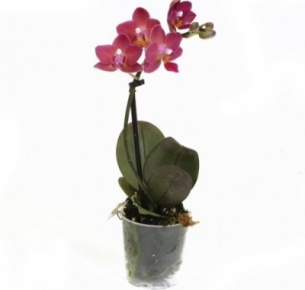 Орхидея Фаленопсис мини (Phalaenopsis mini)
