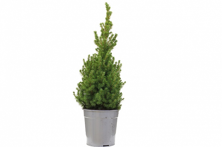 Пицея абиес коника (Picea abies conica)