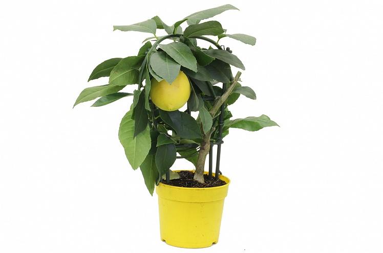 Лимон мейер уход в домашних условиях фото